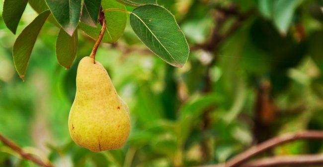 Verlies, verdriet en een perenboom